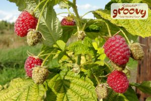Groovy Raspberry Bush